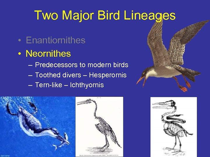 Two Major Bird Lineages • Enantiornithes • Neornithes – Predecessors to modern birds –