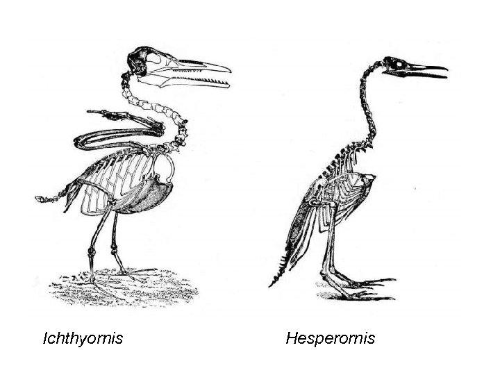 Ichthyornis Hesperornis