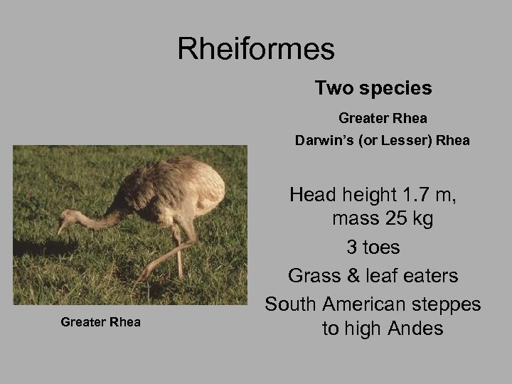 Rheiformes Two species Greater Rhea Darwin's (or Lesser) Rhea Greater Rhea Head height 1.