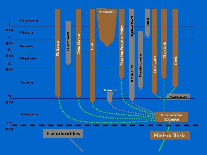 MYA Eocene Shorebirds Moas Ducks 38 Flamingoes Oligocene Pseudodontorns MYA Miocene Remiorniths 26 Most