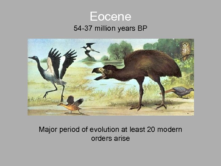 Eocene 54 -37 million years BP Major period of evolution at least 20 modern