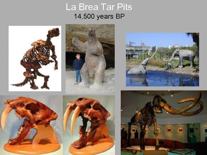 La Brea Tar Pits 14, 500 years BP