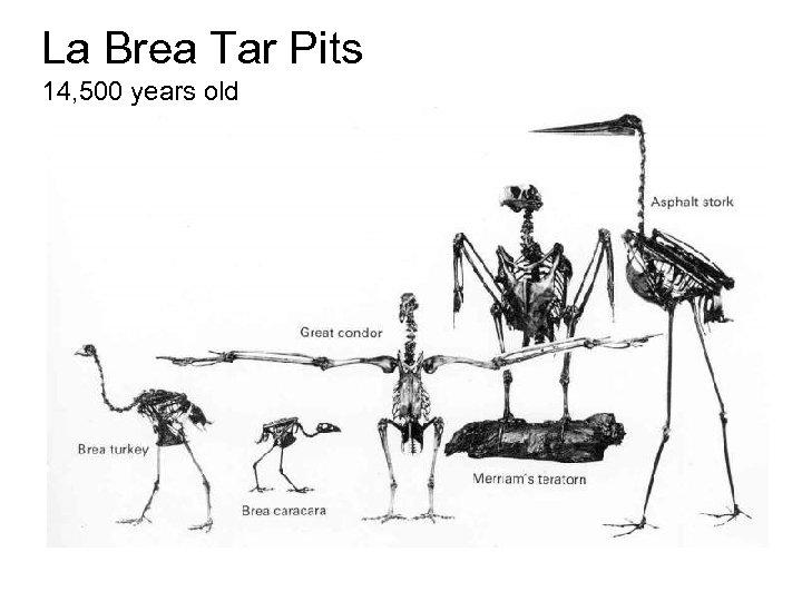 La Brea Tar Pits 14, 500 years old
