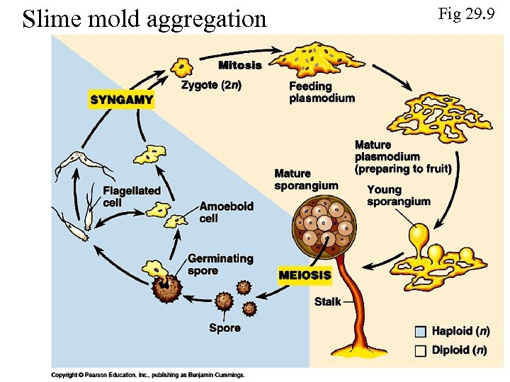 Slime mold aggregation Fig 29. 9