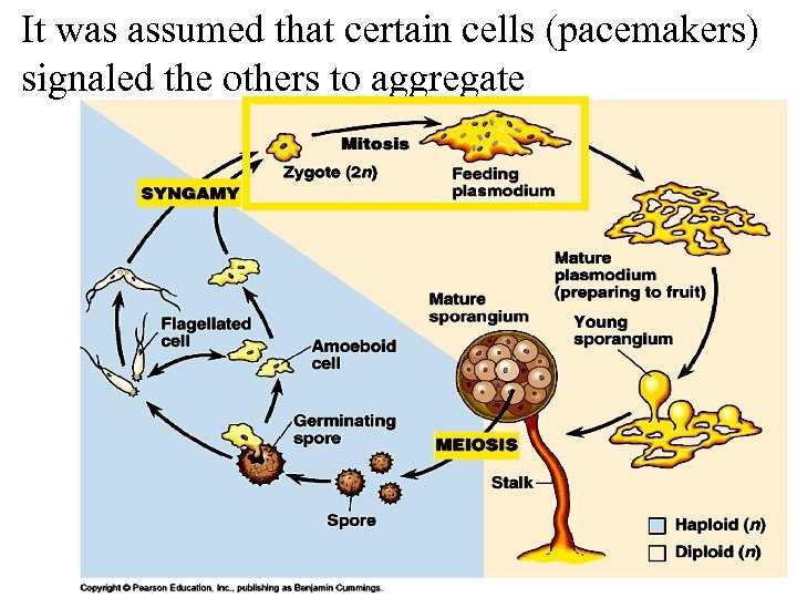 It was assumed that certain cells (pacemakers) signaled the others to aggregate