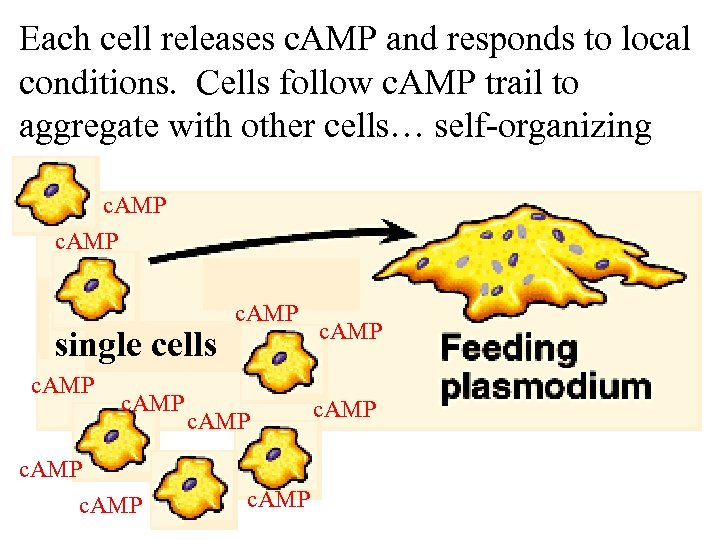 Each cell releases c. AMP and responds to local conditions. Cells follow c. AMP