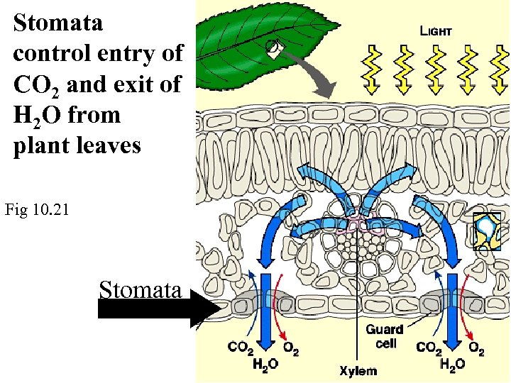 Stomata control entry of CO 2 and exit of H 2 O from plant