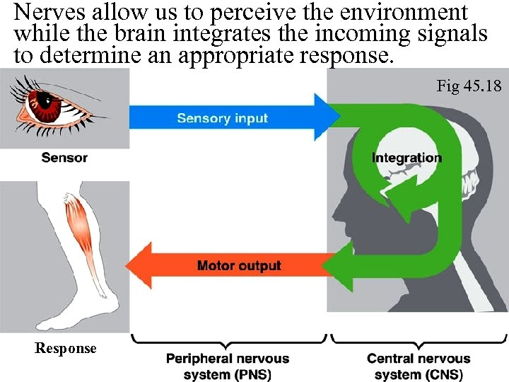 Nerves allow us to perceive the environment while the brain integrates the incoming signals