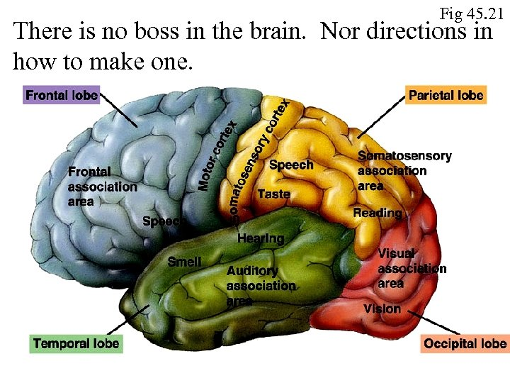 Fig 45. 21 There is no boss in the brain. Nor directions in how