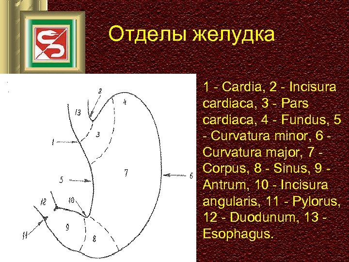Отделы желудка 1 - Cardia, 2 - Incisura cardiaca, 3 - Pars cardiaca, 4