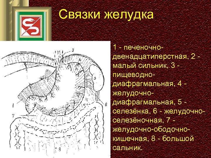 Связки желудка. 1 - печеночнодвенадцатиперстная, 2 малый сильник, 3 пищеводнодиафрагмальная, 4 желудочнодиафрагмальная, 5 селезёнка,