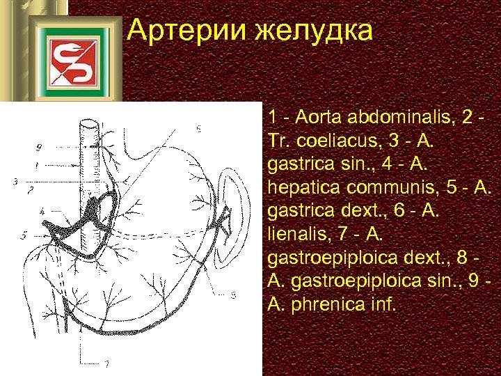 Артерии желудка 1 - Aorta abdominalis, 2 Tr. coeliacus, 3 - A. gastrica sin.