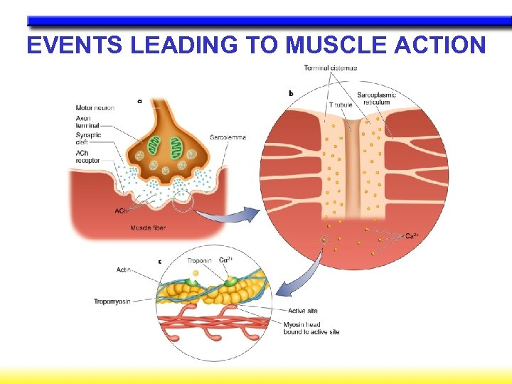 EVENTS LEADING TO MUSCLE ACTION