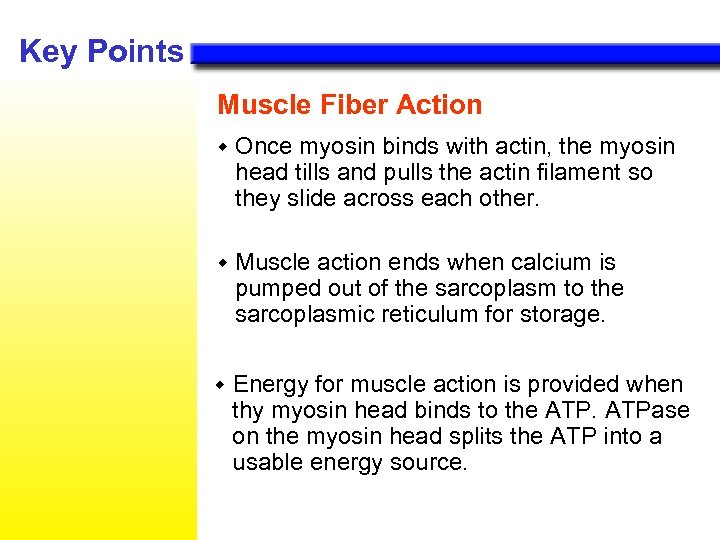Key Points Muscle Fiber Action w Once myosin binds with actin, the myosin head