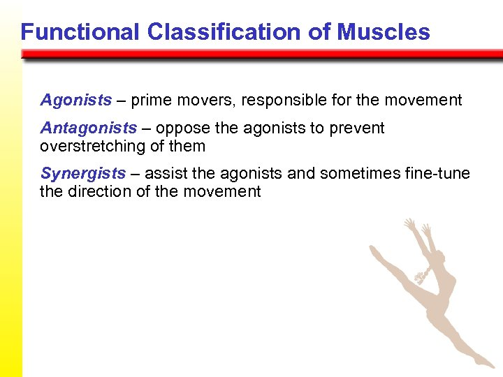 Functional Classification of Muscles Agonists – prime movers, responsible for the movement Antagonists –
