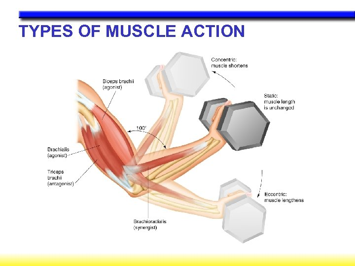 TYPES OF MUSCLE ACTION