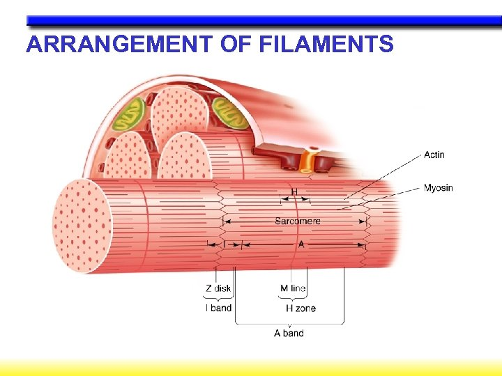 ARRANGEMENT OF FILAMENTS