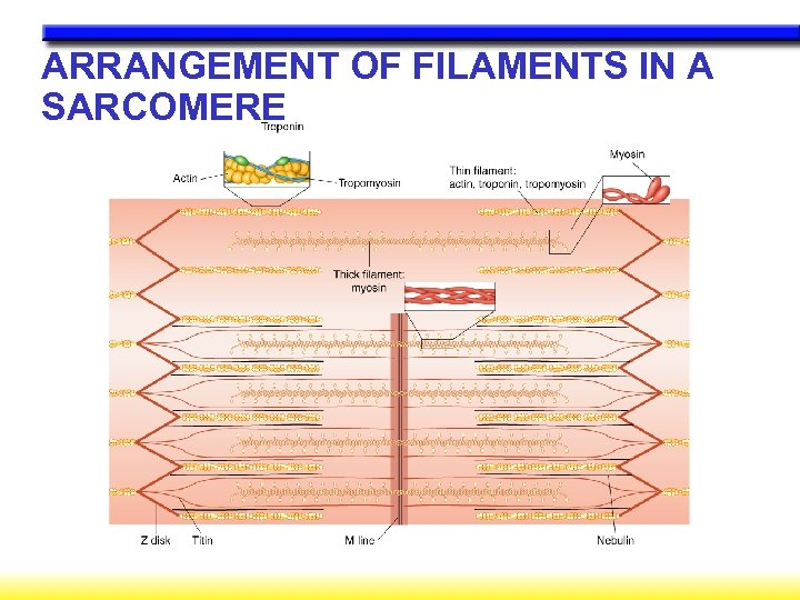 ARRANGEMENT OF FILAMENTS IN A SARCOMERE
