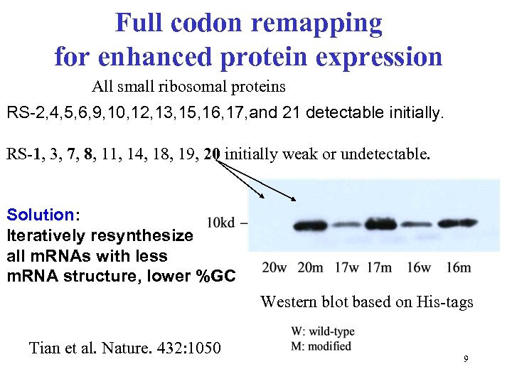 Full codon remapping for enhanced protein expression All small ribosomal proteins RS-2, 4, 5,