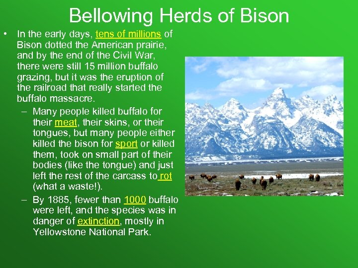 Bellowing Herds of Bison • In the early days, tens of millions of Bison