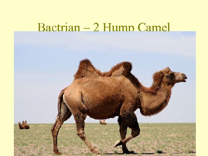 Bactrian – 2 Hump Camel