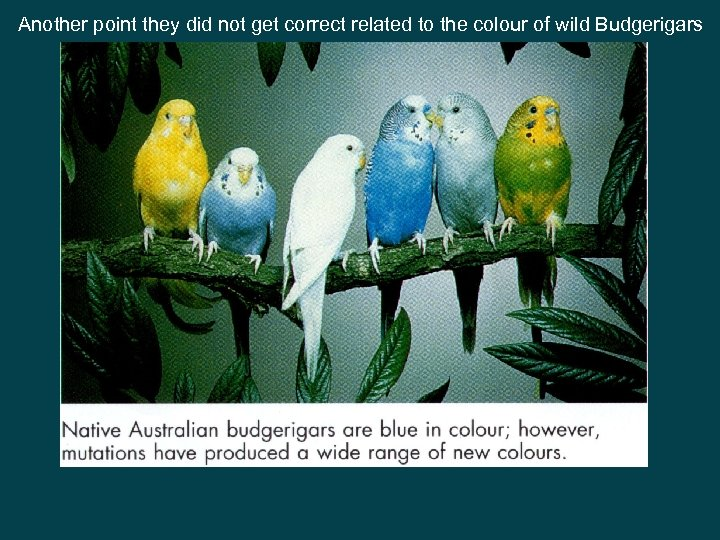 Another point they did not get correct related to the colour of wild Budgerigars