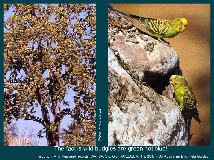 Photo: Marlene Lyell The fact is wild budgies are green not blue! Tarburton, M.