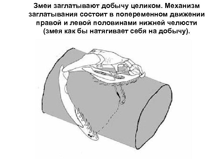 Змеи заглатывают добычу целиком. Механизм заглатывания состоит в попеременном движении правой и левой половинами