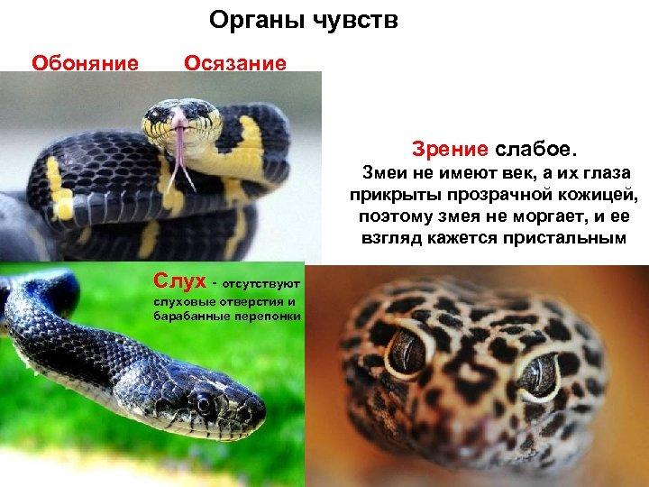 Органы чувств Обоняние Осязание Зрение слабое. Змеи не имеют век, а их глаза прикрыты