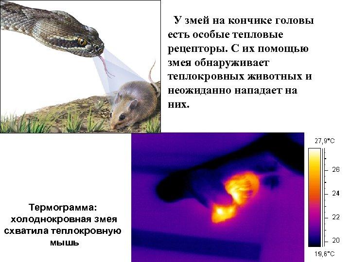 У змей на кончике головы есть особые тепловые рецепторы. С их помощью змея обнаруживает