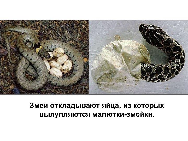 Змеи откладывают яйца, из которых вылупляются малютки-змейки.