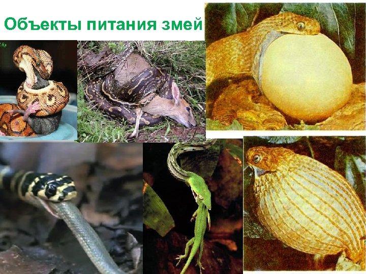 Объекты питания змей