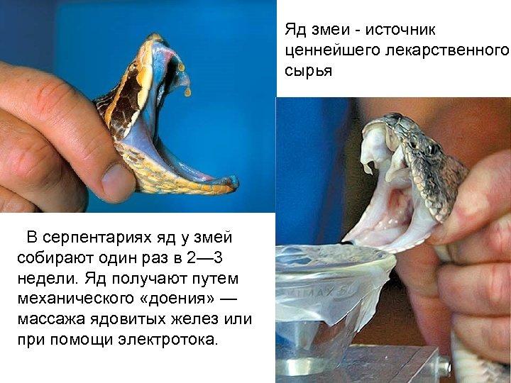 Яд змеи - источник ценнейшего лекарственного сырья В серпентариях яд у змей собирают один