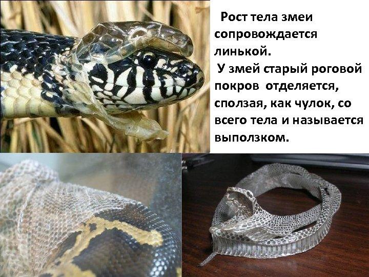 Рост тела змеи сопровождается линькой. У змей старый роговой покров отделяется, сползая, как