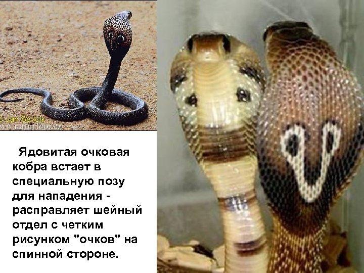 Ядовитая очковая кобра встает в специальную позу для нападения - расправляет шейный отдел с
