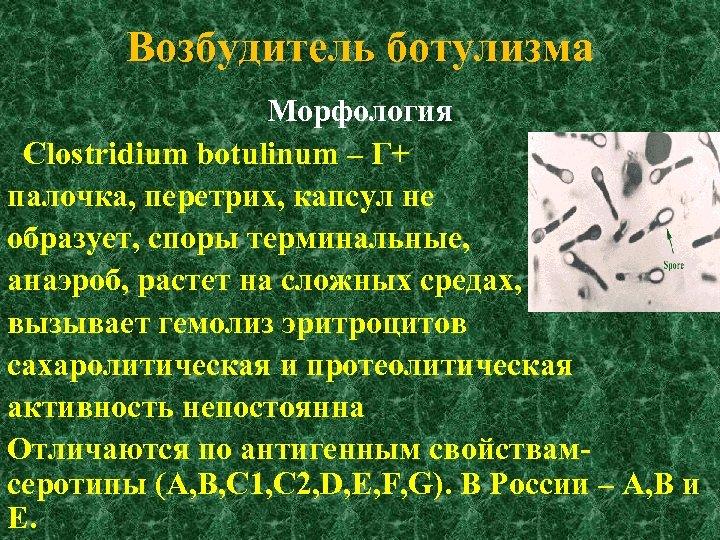 Возбудитель ботулизма Морфология Clostridium botulinum – Г+ палочка, перетрих, капсул не образует, споры терминальные,