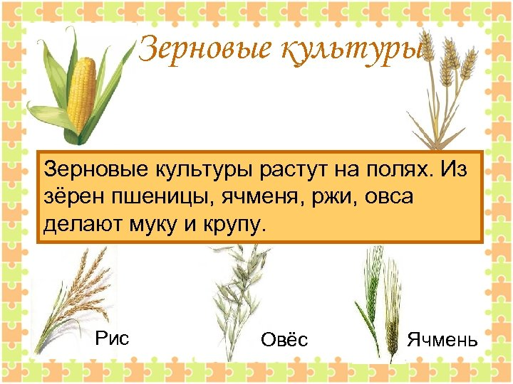 Зерновые культуры растут на полях. Из зёрен пшеницы, ячменя, ржи, овса делают муку и