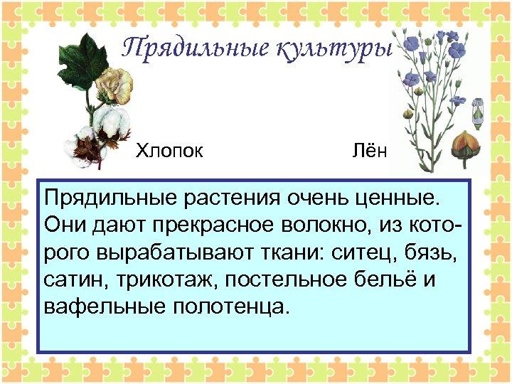 Прядильные культуры Хлопок Лён Прядильные растения очень ценные. Они дают прекрасное волокно, из которого