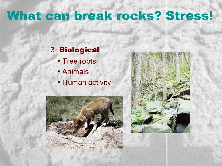 What can break rocks? Stress! 3. Biological • Tree roots • Animals • Human