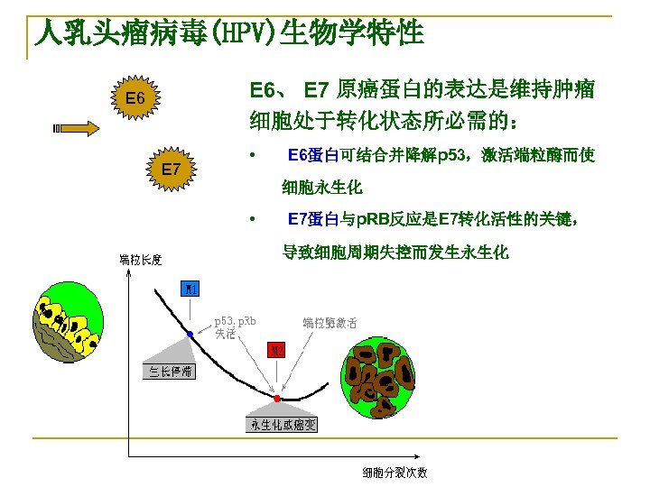 人乳头瘤病毒(HPV)生物学特性 E 6、 E 7 原癌蛋白的表达是维持肿瘤 细胞处于转化状态所必需的: E 6 E 7 •   E 6蛋白可结合并降解p