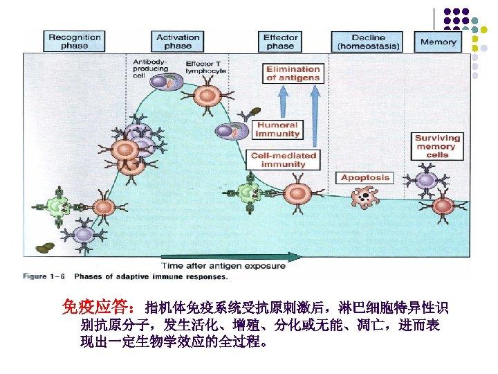 免疫应答:指机体免疫系统受抗原刺激后,淋巴细胞特异性识 别抗原分子,发生活化、增殖、分化或无能、凋亡,进而表 现出一定生物学效应的全过程。