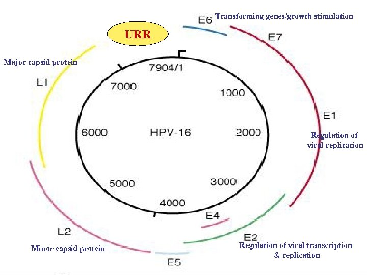 Transforming genes/growth stimulation URR Major capsid protein Regulation of viral replication Minor capsid protein