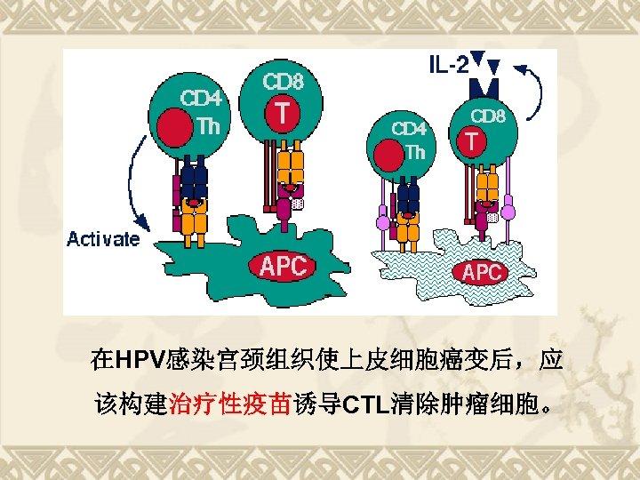 在HPV感染宫颈组织使上皮细胞癌变后,应 该构建治疗性疫苗诱导CTL清除肿瘤细胞。