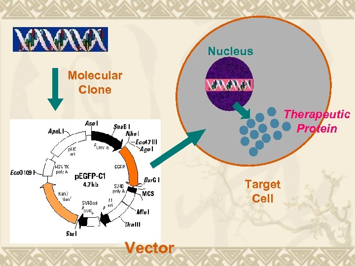 Nucleus Molecular Clone Therapeutic Protein Target Cell Vector