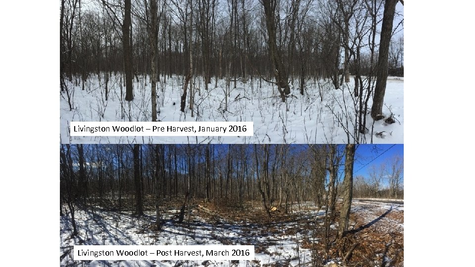 Livingston Woodlot – Pre Harvest, January 2016 Livingston Woodlot – Post Harvest, March 2016