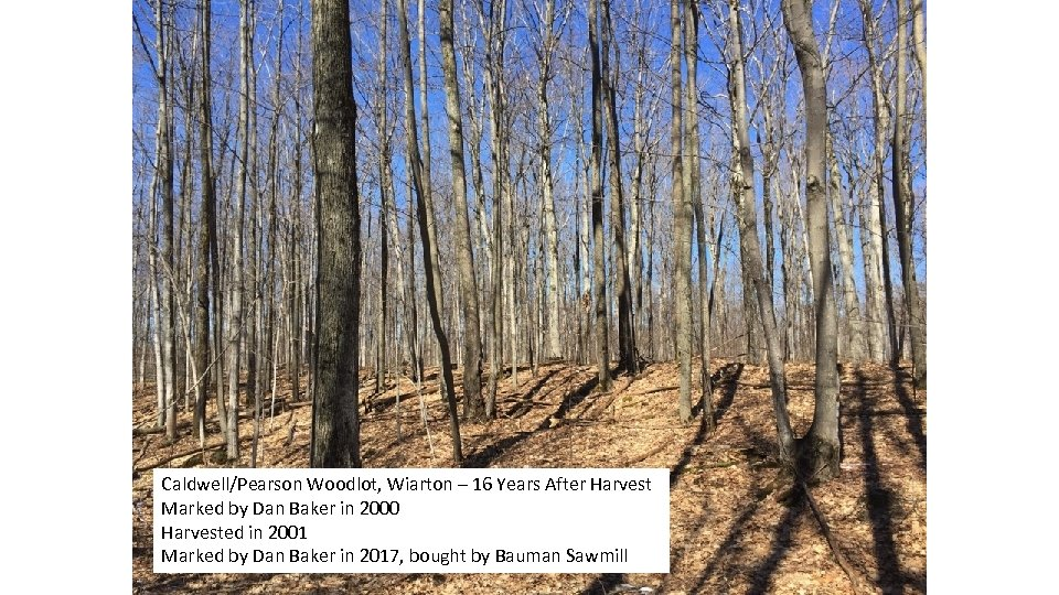 Caldwell/Pearson Woodlot, Wiarton – 16 Years After Harvest Marked by Dan Baker in 2000