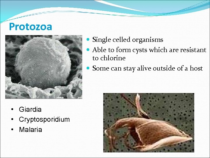Protozoa Single celled organisms Able to form cysts which are resistant to chlorine Some
