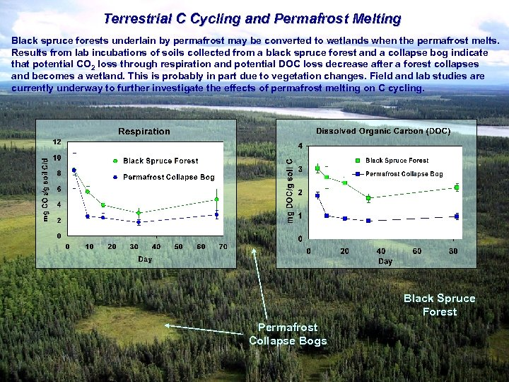 Terrestrial C Cycling and Permafrost Melting Black spruce forests underlain by permafrost may be