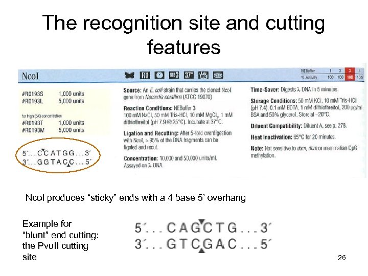 """The recognition site and cutting features Nco. I produces """"sticky"""" ends with a 4"""
