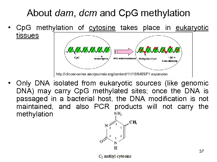 About dam, dcm and Cp. G methylation • Cp. G methylation of cytosine takes